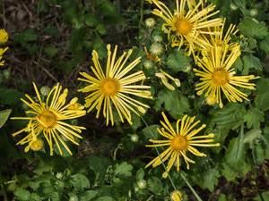 Chrysanthemum Winter Hardy Quill Mum
